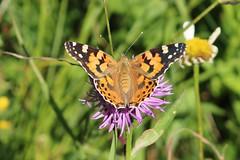 Vanessa cardui - Painted lady - Distelvlinder (Fellhorn, Germany) (Christian van de Ven) Tags: vlinder butterfly schmetterling mariposa papillon paintedlady