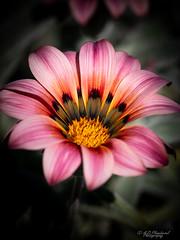 Bloom! (Through_Urizen) Tags: antalya category flora goynuk miradadelmar places turkey sigma105mmmacro canon70d canon outdoor flower flowerbed garden gardening colours colourful petals petal macrophotography macro closeup dof depthoffield silk