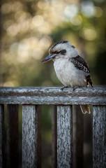 My little feathered friend. (brettvossphotography) Tags: animal bird photography nature wildlife australia kookaburra aussie