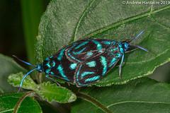 Clelea sapphirina (57Andrew) Tags: peakwalk hongkong zygaenidae cleleasapphirina procridinae forestermoths