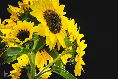 Sunflower Selection