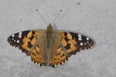 In de zon (~~Nelly~~) Tags: mechelen planckendael vlinder papillon butterfly