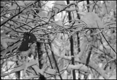 (Armin Schuhmann) Tags: 2018 winter praktica mtl mtl3 carl carlzeissjena carlzeiss zeiss jena czj flektogon 35mm f28 zebra ddr 3528 2835 vintagecamera vintagelens vintage yellowfilter agfa apx 400asa apx400 rodinal 1100 m42 scan selfdeveloped shootfilm schwarzweiss sw screwmount schwarzweis northeast noiretblanc pelicula ishootfilm believeinfilm buyfilmnotmegapixels bw bokeh blackandwhite argentique analogue analogic analog analogo analogico analogica filmisnotdead filmphotography filmscan filmphoto film filme estrie easterntownships quebec canada snow leaves branches trees forest woods nature beach пленка