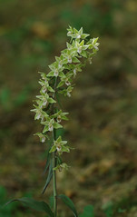The rare and very wonderful Violet Helleborines - Epipactis purpurata (favmark1) Tags: kent orchids kentorchids britishorchids wildorchids violethelleborines epipactispurpurata
