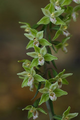 The rare and very wonderful Violet Helleborines - Epipactis purpurata (favmark1) Tags: kent orchids kentorchids britishorchids wildorchids violethelleborines epipactis purpurata epipactispurpurata