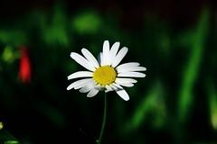 Marguerite IMG_1886 (Paul_Paradis) Tags: blossom fleur flora floral flower garden jardin plant plante nature natural summer ete marguerite daisy brillant macro canada quebec iledorleans