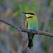 Rainbow Bee-Eater - Kakadu National Park, NT, Australia