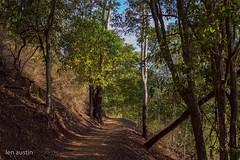 MT.OMMANEY WALKWAY (len.austin) Tags: afternoon australia australianplants brisbane bush eucalyptusteretecornis grass gums landscape mtommaneywalkway outdoor subtropics winter