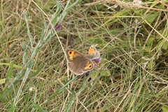 Maniola jurtina - Meadow brown - Bruin zandoogje (Oberküps, Germany) (Christian van de Ven) Tags: vlinder butterfly schmetterling mariposa papillon