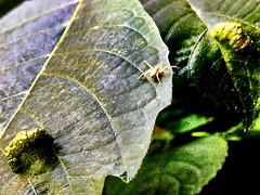#Tiny #spider and deformated leaves (RenateEurope) Tags: tiny spider insects rheinland nrw germany iphoneography renateeurope