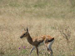 YOUNG THOMPSON'S GAZELLE (eliewolfphotography) Tags: gazelle gazelles africa african wildlife wildlifephotographer wildlifephotography nature naturelovers nikon naturephotography ngorongoro ngorongorcrater tanzania safari serengeti serengetinationalpark safariphotography animals