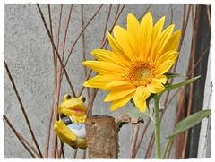 Sunflower-napraforgó (Katalin Réz) Tags: sunflower floer frog béka nature yellow flower virág flora vividstriking lovelymotherearth callingallangels fugitivemoment