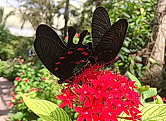 PINK ROSE (concep1941) Tags: butterflies insects wingsofthetropics