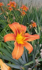 19146122_462695017414220_7784881573591245770_n (antoniacuantica) Tags: crin lily portocaliu orange