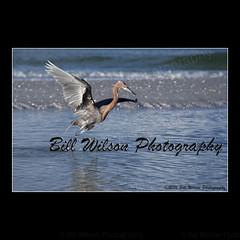 reddish egret (wildlifephotonj2019) Tags: reddishegret reddishegrets egret egrets floridawildlife florida birds bird