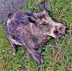 "Wildschwein (""Keiler"") (Sus scrofa(L. 1758)) (naturgucker.de) Tags: ngidn1639841596 susscrofa wildschwein"