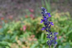 Colors (Abhay Parvate) Tags: flowers violet colors nature macro bokeh