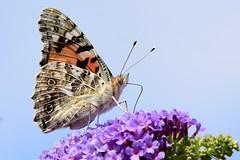 DSC_5332 Vanesse du chardon (sylvette.T) Tags: insecte papillon butterfly 2019 vanesseduchardon vanessacardui belledame paintedlady buddleia cielbleu ngc