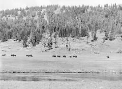 Yellowstone - Bison (LarsHolte) Tags: pentax 645 pentax645 645n 6x45 smcpentaxfa 200mm f40 120 film 120film analog analogue kosmo foto mono 100iso caffenolc mediumformat blackandwhite classicblackwhite bw monochrome filmforever filmphotography ishootfilm larsholte homeprocessing usa yellowstone nationalpark wyoming landscape bison