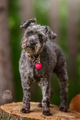Picture of the day (Keshet Kennels & Rescue) Tags: adoption dog dogs canine ottawa ontario canada keshet large breed animal animals kennel rescue pet pets field nature summer photography schnoodle led collar light beacon head tilt headtilt stump