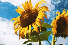 Always look (gusdiaz) Tags: flowers sunflowers girasoles summer verano fuji fujifilm colorful sky clouds nubes cielo bokeh dof colorido nature naturaleza brattonsville southcarolina sc