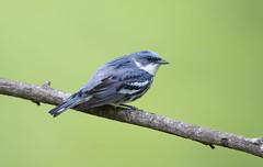 Cerulean Warbler.Lake hope Ohio. (mandokid1) Tags: canon 1dx ef600mm11 birds warblers