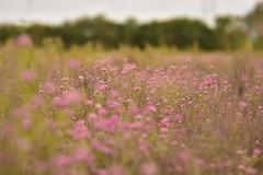 La belleza de lo simple (su-sa-ni-ta) Tags: flores nature argentina rosa colores cordoba fotografia labellezadelosimple flickrsuysanita flowers agosto2019 bokeh dof blur tecnica