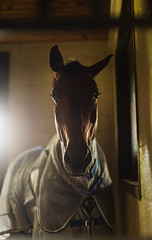 flysheet (Jen MacNeill) Tags: horse horses stable farm stall equine equestrian light shadow dark warmblood hanoverian
