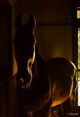 stable light (Jen MacNeill) Tags: horse horses stable farm stall equine equestrian light shadow dark warmblood hanoverian