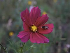 Bloem / Flower (Wilmeij) Tags: flower bloem vlieg fly nature natuur