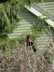 Red-winged blackbird near edge of Woodlake, Kohler, Wisconsin (Paul McClure DC) Tags: sheboygancounty wisconsin apr2019 kohler animal bird redwingedblackbird