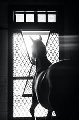 (Jen MacNeill) Tags: horse horses stable farm stall equine equestrian light shadow dark warmblood hanoverian bnw bw