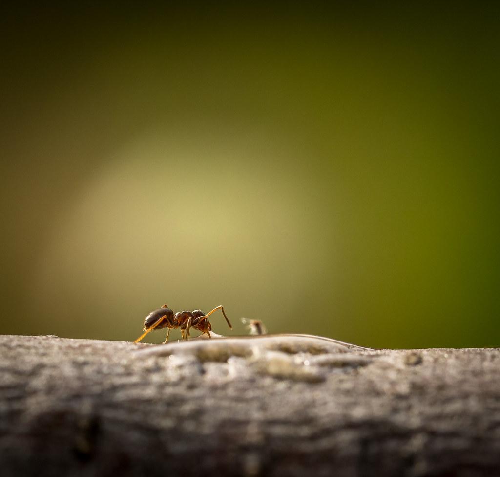 Grosses Fourmis Noires Dans Le Jardin the world's best photos of fourmis - flickr hive mind