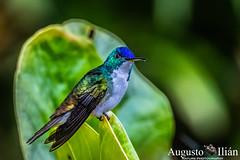 DSC_9352.jpg (Augusto Ilian G) Tags: amaziliaandino amaziliafranciae andeanemerald
