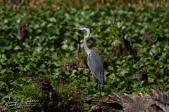 Great Blue Heron (jonwhitaker74) Tags: wildlife bird