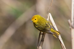 Paruline Jaune / Yellow Warbler (ALLAN .JR) Tags: parulinejaune yellowwarbler bird oiseau nature wildlife parcangrignonlasalleqc migration nikon