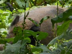 gut versteckt- Wildschein (Heide56) Tags: tiere gehege wildschwein