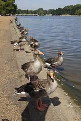 Geese (Paul McNamara) Tags: london england geese hydepark serpentine water lake pond bridge
