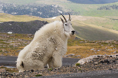 Nanny Goat (_BirdsTheWord_) Tags: nature canon 100mm macro l is colorado mt evans mount mountains billy goat white majestic nanny