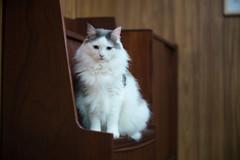 maco (Typ250) Tags: cat norwegianforestcat leicam leica leicam10p summarex summarex85cm summarex85mm summarexf85cm115