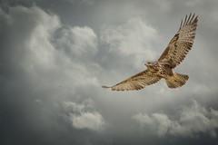 Before the storm (hardy-gjK) Tags: bussard buzzard himmel sky clouds wolken bird vogel oiseau storm sturm regen gewitter hardy nikon nature wildlife raptor
