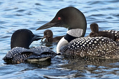 New life (NaPix -- (Time out)) Tags: work to do loon babies feeding parents family nature wildlife early morning