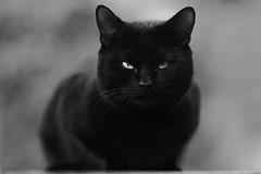 'Sooty' (Jonathan Casey) Tags: cat black tom white mono nikon d850 sigma 135mm f18 art
