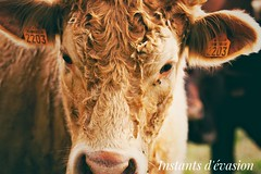 Belle copine picarde (jenny_pics-60) Tags: vache veau champs agriculture campagne nature oise picardie france rural vert