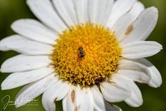 Ligated Furrow Bee (jonwhitaker74) Tags: macro