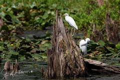 Juvenile Little Blue Heron (jonwhitaker74) Tags: wildlife bird