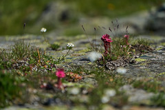 art by nature (ivoräber) Tags: swiss alps flower zermatt sony switzerland schweiz systemkamera suisse flowers blumen mountain