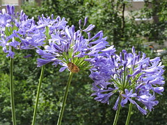 08: 06 August 2019 (keepps) Tags: switzerland suisse schweiz summer vaud nyon plant flower agapanthas 365photos