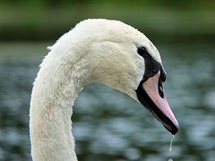 [NT] Hardwick Park. Derbyshire. Aug 2019. Swan (Simon W. Photography) Tags: thenationaltrust nationaltrust nationaltrustmember muteswan swan cygnus aves bird birds britishbirds birdlover ornithology feathers beak wildlife nature birdwatching rspb bbcspringwatch wildbird macro macrophotography macros closeup closeupshot closeupphoto closeupphotography bokeh zoom makro macrox macrocaptures macrophoto macroworld derby derbyshire sonyrx10iv sonyrx10m4 sonyuk sony sonydscrx10m4 sonyflickraward