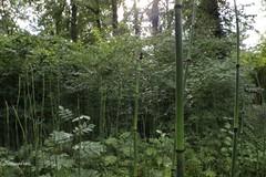 im Schachtelhalmwald (Phil Arachno) Tags: germany badenwürttemberg daxlanden laowa eos600d schachtelhalm equisetaceae